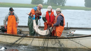 Catching an American Atlantic sturgeon (Acipenser oxyrinchus) for reproduction in Canada