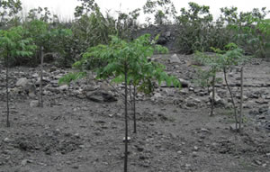 Acacia seedlings planted by VINACOMIN